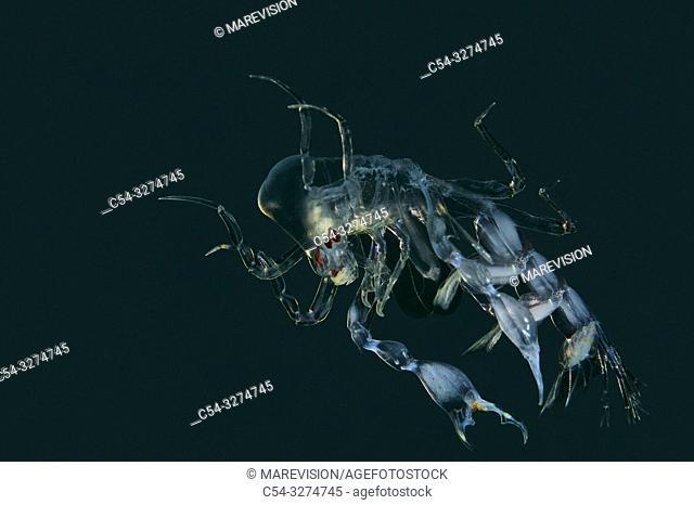 Deep sea. Arthropoda. Crustacean. Pelagic Amphipod. Pram Bug Amphipod (Phronima sedentaria). Eastern Atlantic. Galicia. Spain. Europe