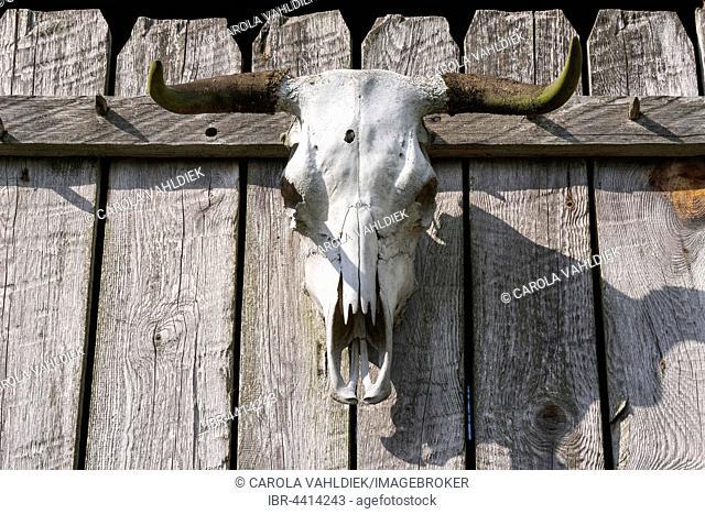 Bull skull with bullet hole, on fence, Mecklenburg-Vorpommern, Germany