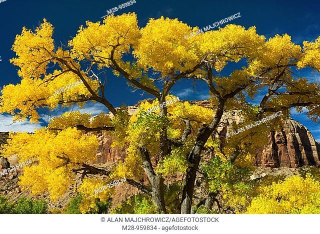Cottonwood trees displaying brilliant autumn foliage along Indian Creek Canyon Utah