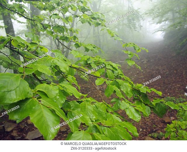 Misty beech forest (Fagus sylvatica). Springtime at Montseny Natural Park. Barcelona province, Catalonia, Spain