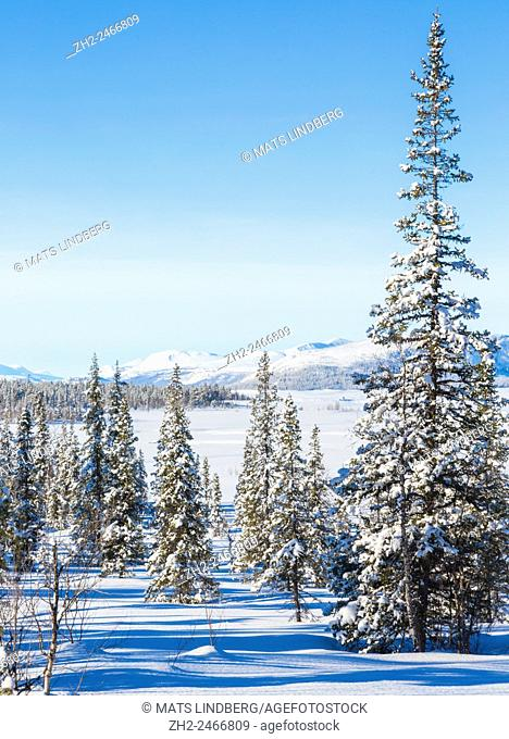 Sunny winter landscape with snowy trees, spruces and birches, with a mountain in the background and clear blue sky, Gällivare, Swedish Lapland, Sweden
