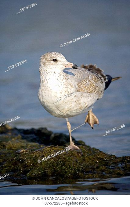Ring.billed Gull Juvenile (Larus delawarensis). Feet tangled in fishing line. First winter. New York. USA. Taking off from lake