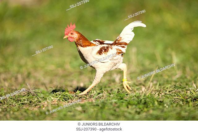 Domestic Chicken, breed: Old English Game Bantam. Cock running on grass Germany