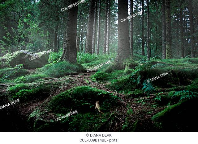 Mossy green forest, low angle view, Bariloche, Rio Negro, Argentina