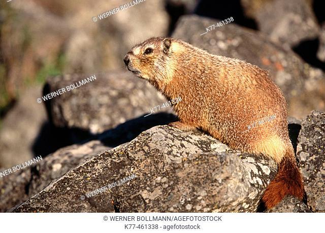Yellow-bellied Marmots (Marmota flaviventris). Yellowstone N.P., Wyoming, USA