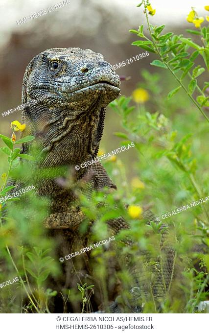 Indonesia, East Nusa Tenggara, Komodo Island, Komodo National Park listed as World Heritage by UNESCO, Komodo Dragon (Varanus komodoensis) in the high grass