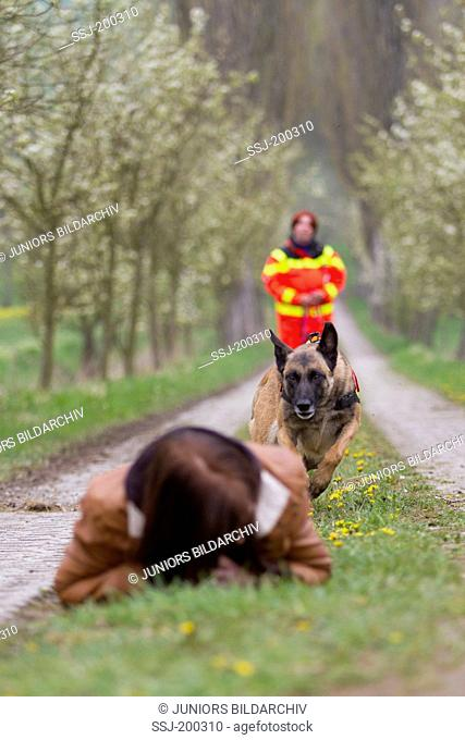 Belgian Shepherd, Malinois. Adult dog working as search and rescue dog approaching an injured person. Germany
