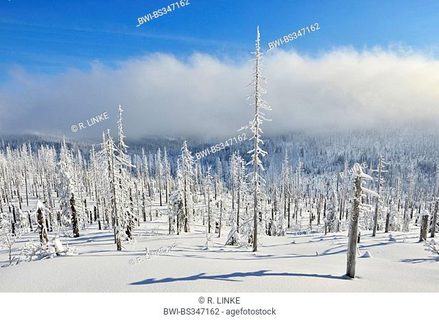 snow covered coniferous forest in the winter, Germany, Bavaria, Bavarian Forest National Park, Lusen