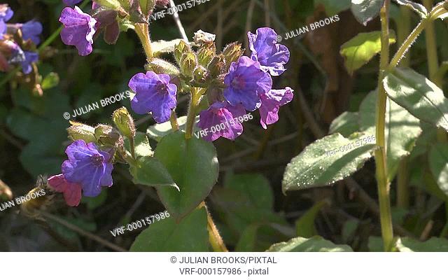 Hairy footed flower bee visiting Pulmonaria flowers