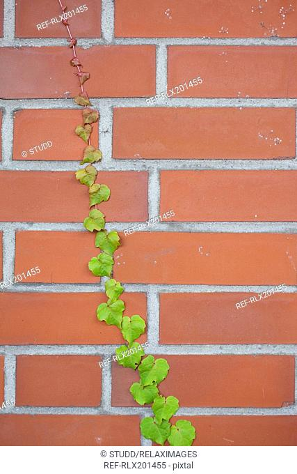 Ivy red brick wall covered climbing green leaves
