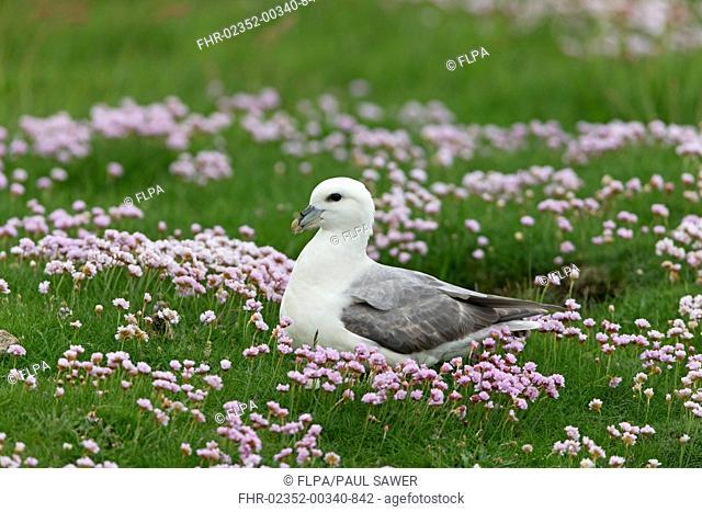 Northern Fulmar (Fulmarus glacialis) adult, sitting amongst flowering Thrift (Armeria maritima), Shetland Islands, Scotland, June