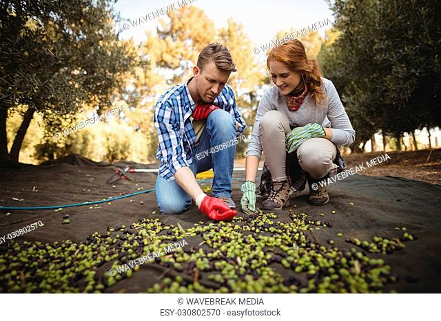 Man and woman working at olive farm