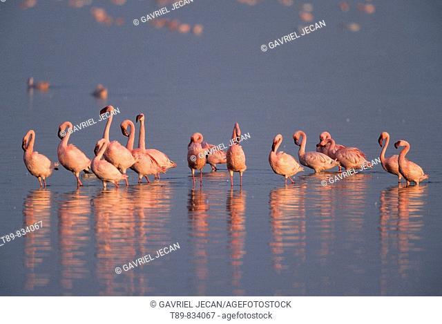 Lesser Flamingo, Phoenicopterus minor