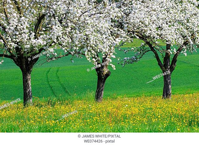 Apple tree blooming in spring. Oetwil am See, Zurich, Switzerland