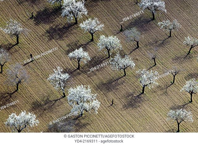Aerial view of almond trees in flowers in the farm land, Mallorca lands, Balearic Island, Spain