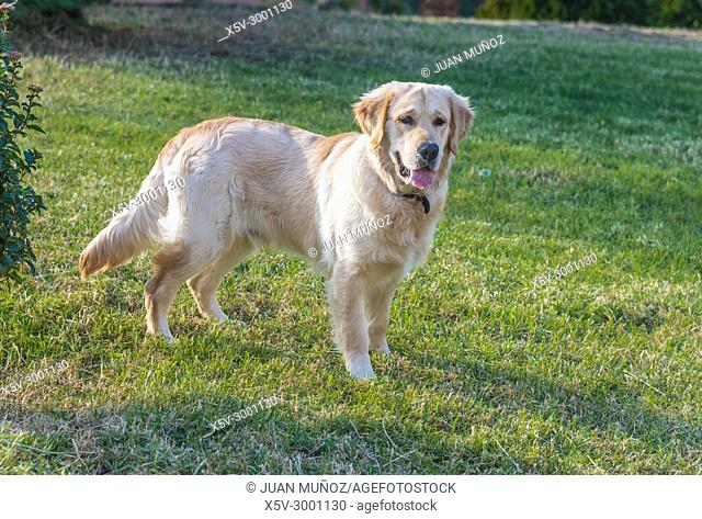 Portrait of Golden Retriever on alert