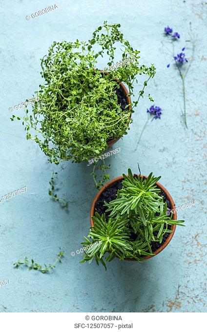 Thyme and rosemary, planted in clay pots on an old blue background