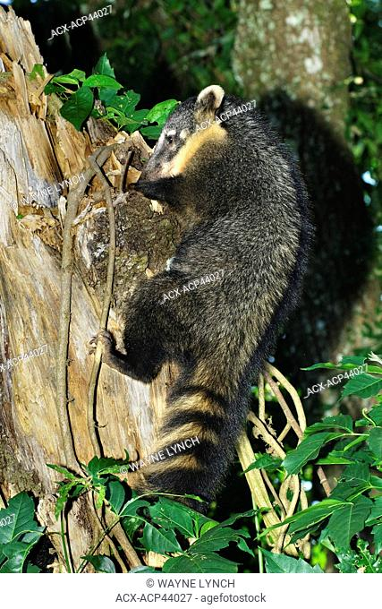 South American coati Nasua nasua foraging for grubs in the rotten wood of a tree stump, Iguazu Falls, Brazil South America