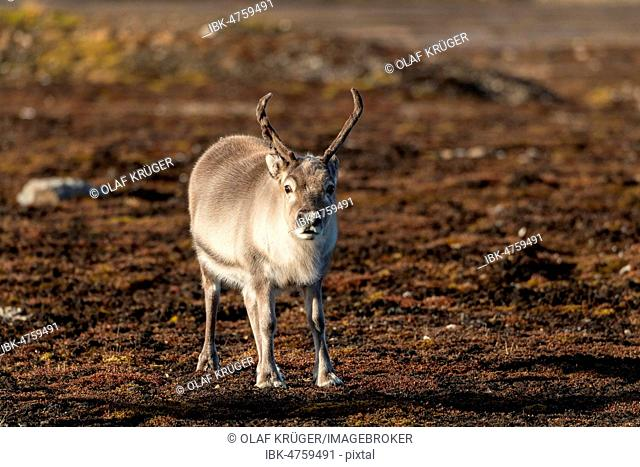 Svalbard reindeer (Rangifer tarandus platyrhynchus), Spitsbergen Archipelago, Svalbard and Jan Mayen, Norway