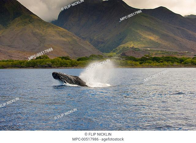 Humpback Whale (Megaptera novaeangliae) spouting, Maui, Hawaii