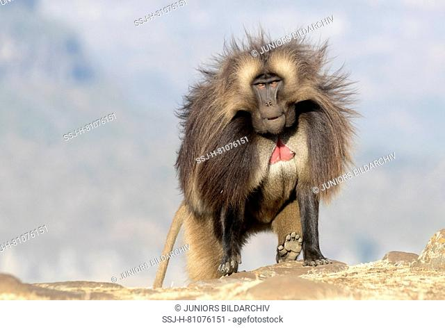 Gelada Baboon (Theropithecus gelada). Dominant male walking on a rock. Ethiopia