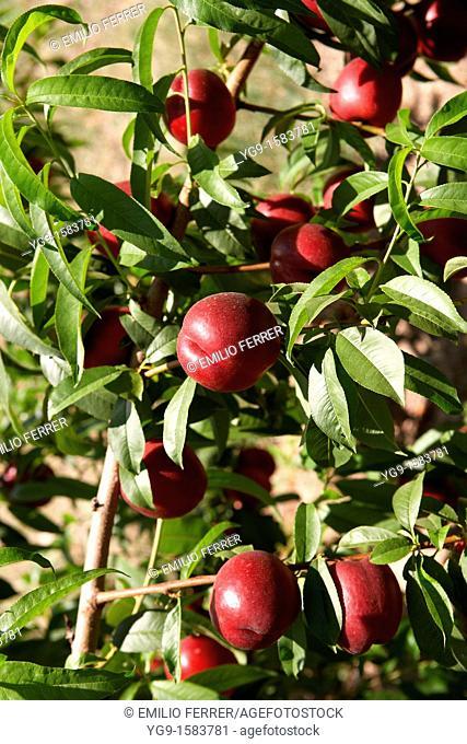 Nectarines on a tree  LLeida  Spain