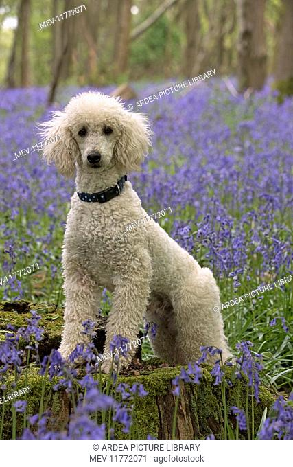 Dog Labradoodle in Bluebell woods