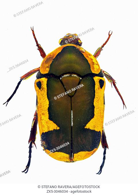 Fruit Chafer Beetle in resin