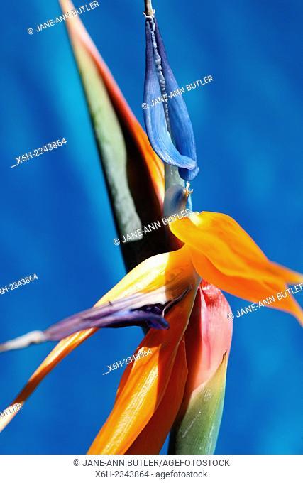 bird of paradise flower, atmospheric, colourful still life