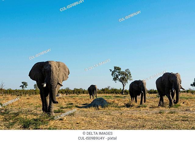 African elephants (Loxodonta africana) walking across savannah, Savuti, Chobe National Park, Botswana