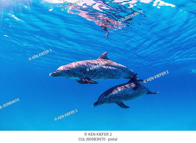 Atlantic Spotted dolphins, underwater view