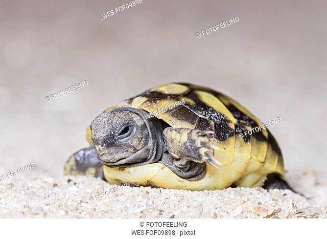Hermann's tortoise, Testudo hermanni, freshly hatched