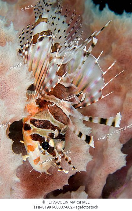 Zebra Lionfish (Dendrochirus zebra) adult, resting on side of Barrel Sponge (Xestospongia testudinaria), Kareko Point, Lembeh Straits, Sulawesi