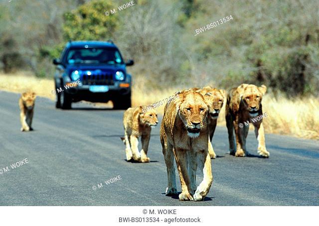 lion (Panthera leo), pride of lions walking on street, inhibiting traffic, South Africa, Kruger National Park