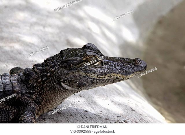 A juvenile American alligator (Alligator mississippiensis) at an alligator farm in Florida, USA. The American alligator was in danger of extinction but the...