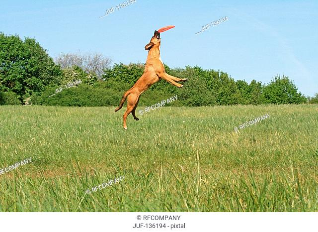 half breed dog Malinois jumping with frisbee