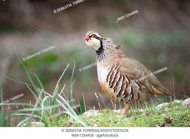 With red legged partridge Stock Photos and Images | age fotostock