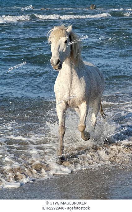 Camargue horse running in the water, Bouches du Rhône, France, Europe