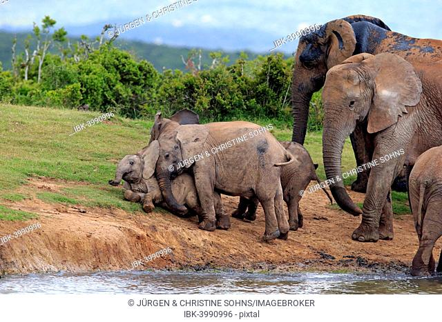 African Elephants (Loxodonta africana), herd with young animals at the waterhole, Addo Elephant National Park, Eastern Cape, South Africa