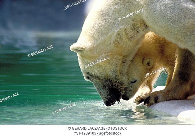 Polar Bear, thalarctos maritimus, Mother with Cub entering Water