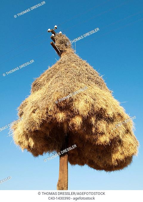 Huge communal nest of Sociable Weavers Philetairus socius at a telephone pole at the N14 road a few kilometers east of the town of Upington  Kalahari Desert