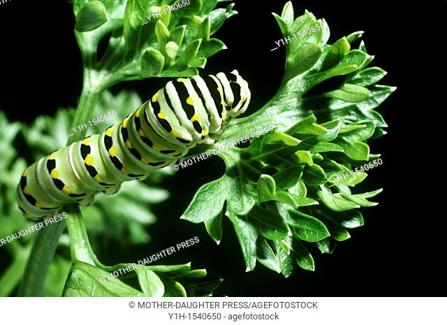 Eastern Black Swallowtail caterpillar, Papilio polyxenes, on a leaf of parsley