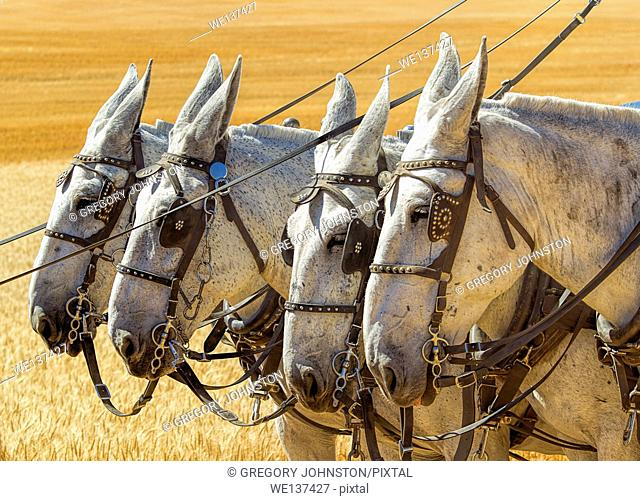 Four white horses with harnesses and blinders on