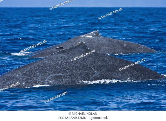 A rare sight as a Mother/calf/escort humpback whale Megaptera novaeangliae surface side-by-side in the AuAu Channel between the islands of Maui and Lanai