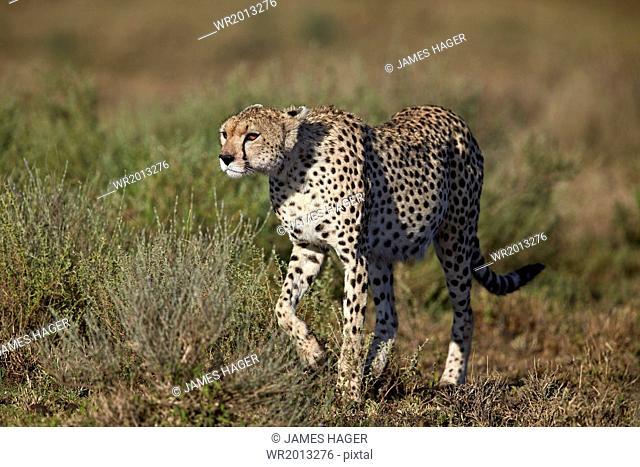 Cheetah (Acinonyx jubatus), Ngorongoro Conservation Area, UNESCO World Heritage Site, Serengeti, Tanzania, East Africa, Africa