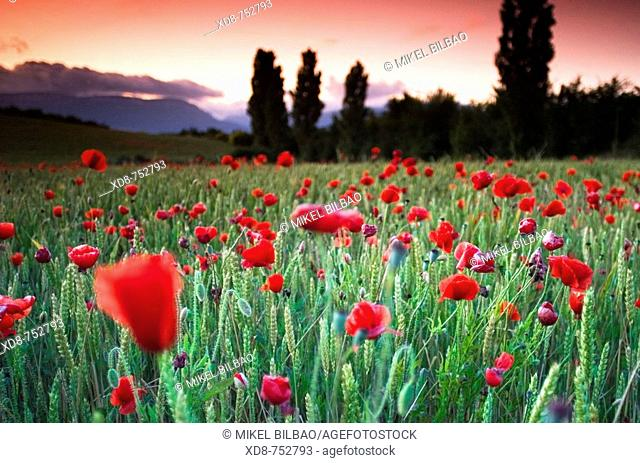 Poppy (Papaver rhoeas) field at sunset