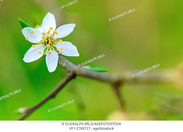 Wild plum in springtime. (Lombardy, Ticino's Park)