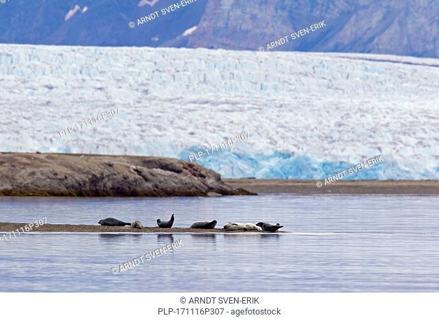 Common seals / harbour seals (Phoca vitulina) resting in front of glacier, Svalbard / Spitsbergen, Norway