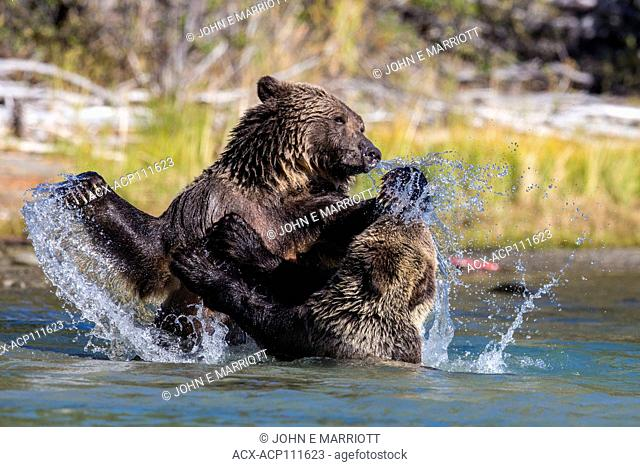 Grizzly bears playfighting, BC, Canada