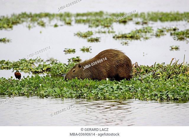 Capybara, Hydrochoerus hydrochaeris, Los Lianos, Venezuela